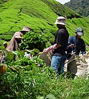 Indonesian Workers at Boh Tea Plantations