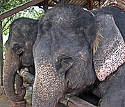 Asienreisender - Elephants in a Camp