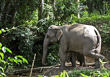 Asienreisender - Elephant Cow with her Calf