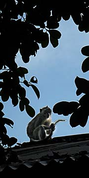 'A Macaque in Pangandaran Nature Park' by Asienreisender