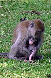 Macaque with Baby by Asienreisender