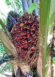 'Palm Oil Fruits' by Asienreisender
