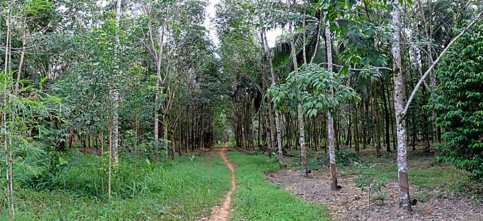 'Hiking Trail Into the Rubber Plantations' by Asienreisender