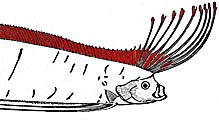 Giant Oarfish