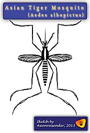 Asian Tiger Mosquito, Aedes Albopictus, Sketch by Asienreisender
