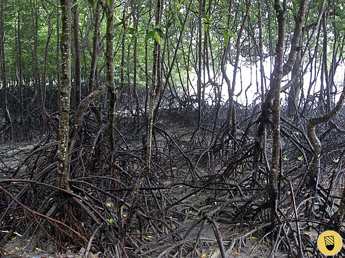 Mangrove Forest in Trang Province, Thailand, by Asienreisender