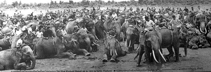 Elephants in Surin, Thailand, 1955 by Asienreisender