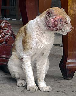 Wounded, scratched Cat in Cambodia by Asienreisender