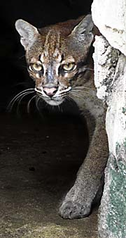 Asian Wild Cat by Asienreisender