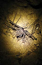 Strange Spiderkind of Animal in Kbal Romeas Cave by Asienreisender