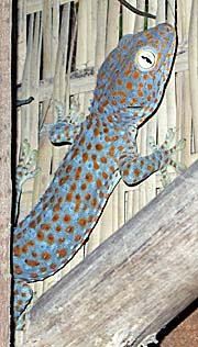 Tokay Gecko in a Bungalow on Rabbit Island / Koh Tonsay by Asienreisender