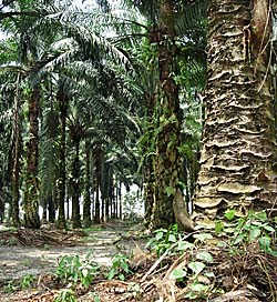 'Palm Oil Plantation in Malaysia' by Asienreisender