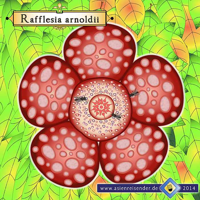 'Sketch of a Rafflesia Arnoldii' by Asienreisender