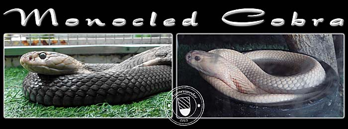 Photocomposition 'Monocled Cobras' by Asienreisender