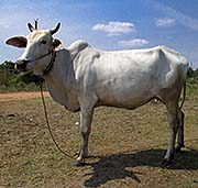 'A Cambodian Cow' by Asienreisender