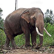 'An Elephant in Ban Ta Klang' by Asienreisender