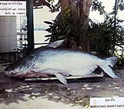 'Photo of a Giant Catfish' by Asienreisender