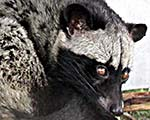'Large Indian Civet Cat' by Asienreisender