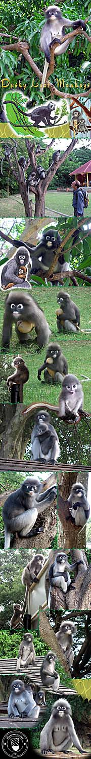 Thumbnail 'Photocomposition Dusky Leaf Monkeys' by Asienreisender