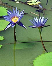 'Lotus Flowers in a Pond' by Asienreisender