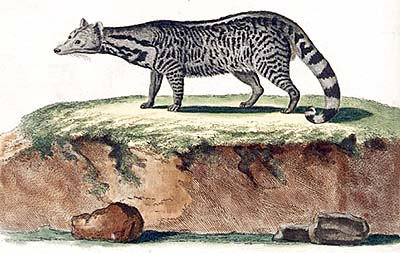 Large Indian Civet by Schreber, 1780