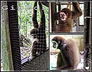 Thumbnail 'Lar Gibbon in Ranong' by Asienreisender