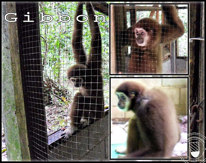 'Gibbon in a Cage in Ranong | Thailand' by Asienreisender