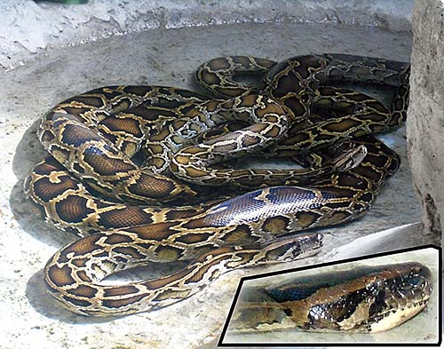 'Reticulated Python | Saigon Zoo' by Asienreisender