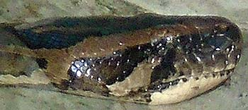 'Head of a Reticulated Python | Saigon Zoo' by Asienreisender