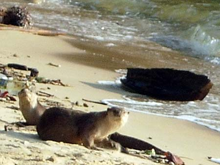 'Oriental Small-Clawed Otters at the Beach of Pangkor Island | Malaysia' by Asienreisender