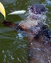 'Oriental Small-Clawed Otter in Songkhla Zoo | Thailand' by Asienreisender