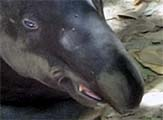 'Face of a Malayan Tapir' by Asienreisender