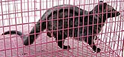 'A Young Civet Cat in a Cage in Krabi' by Asienreisender