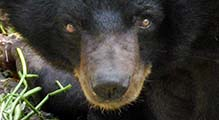 'Face of an Malayan Sun Bear' by Asienreisender