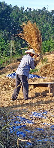 'Threshing Rice Straw on the Fields in Pai' by Asienreisender