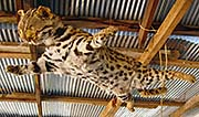 'A Stuffed Leopard in Mae Salong | Santikhiri' by Asienreisender