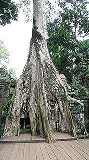 'A Giant Figtree growing on the Ruins of Ta Prohm' by Asienreisender