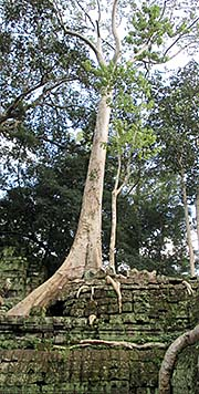 'A Large Tree Overgrowing Ta Prohm' by Asienreisender