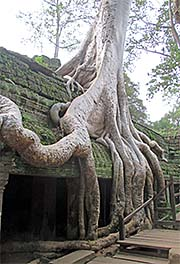 'Roots of a Giant Figtree in Ta Prohm' by Asienreisender