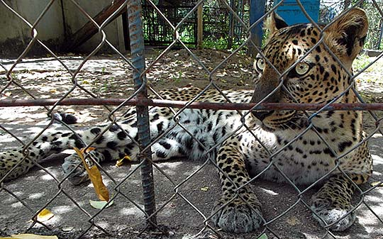 'Indochinese Leopard in Kampot Zoo' by Asienreisender