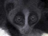 'Face of a Slow Loris' by Asienreisender